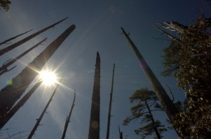 Beetle killed stand of pines above Thimphu