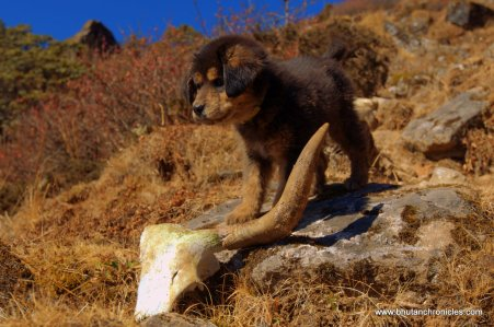 Laya makes a find, her own yak skull!
