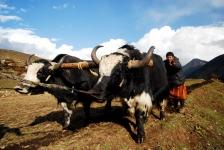 Laya farmers